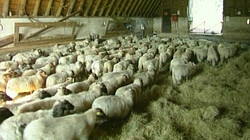 Dekzandgebieden: Nuttige schapen voor de landbouw