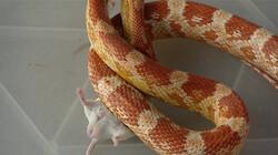 Hoe eet een rattenslang een muis?: Zonder te kauwen