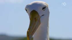 Galapagos in de klas: De galapagosalbatros