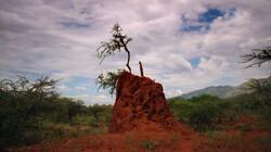 Termieten: Mieren die leven in grote kolonies