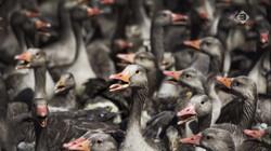 EenVandaag in de klas: Kritiek op besluit vergassing ganzen