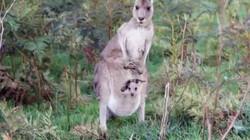 Hoe komt de kangoeroe aan zijn naam?: Clipje uit Studio Snugger