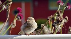 Vroege Vogels in de klas: De huismus