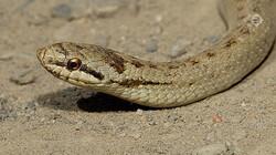 Vroege Vogels in de klas: De gladde slang
