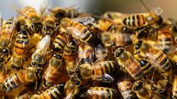Vroege Vogels in de klas: Bijenvolken