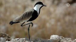 Vroege Vogels in de klas: De kievit