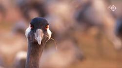 Vroege Vogels in de klas: De kraanvogel