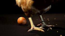 Waar komen eieren vandaan?: Legkippen leggen een ei per dag