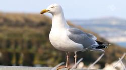 Vroege Vogels in de klas: De zilvermeeuw