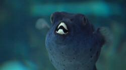 Hoe gaat een vis naar de tandarts?: De tanden van de kogelvis