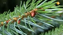 De Buitendienst Van Nieuws Uit De Natuur - O, Dennenboom