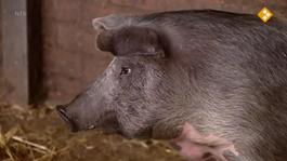 De Buitendienst Van Nieuws Uit De Natuur - Varkens