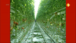 Flip De Beer - Plukt Tomaten
