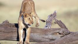 Natuur Op 2 - Hoe Leeuwen Leven (2)