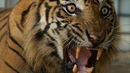 Natuur op 2 De levensgevaarlijke Sumatraanse tijger