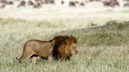 Natuur Op 2 - Hoe Leeuwen Leven (1)