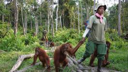 Natuur op 2 Natuur op 2: Orang-oetans op vrije voeten