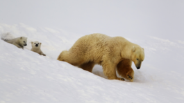 Natuur op 2: Polar Bear family and me Natuur op 2: De IJsberenfamilie en ik Deel 3: Herfst