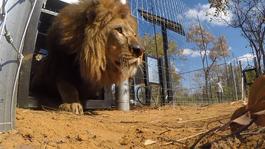 Beestieboys - Leeuwen Vrijlaten In Zuid-afrika