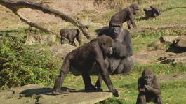 Het Klokhuis - Gorilla