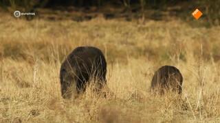 Wild zwijn zet boeren en natuurorganisaties lijnrecht tegenover elkaar