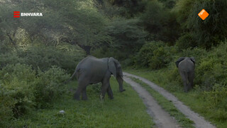 Nienke schrikt zich kapot op safari in Tanzania