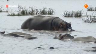 Nienke is op safari in Lake Manyara National Park en spot een grote groep nijlpaarden.