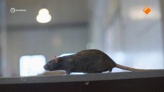 Opmars bruine rat lijkt onstuitbaar: 'Als je de rat een kans geeft, dan pakt hij die'