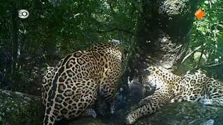 Jaguars, de superkatten van Brazilië