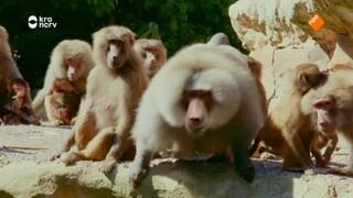 The zoo De brute beesten van de bavianenrots