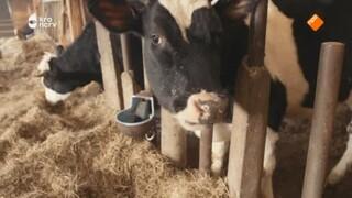 Zeldzame koeien