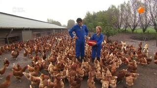 Hoe ziet de dag van een kippenboer eruit?