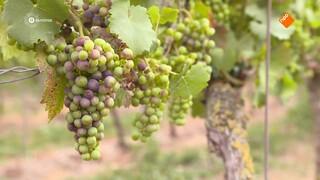 Nederlandse wijn maakt opmars door 'Franse zomer'