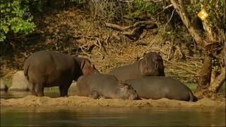 Nijlpaarden/Worstboomvrucht