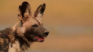 Dynasties Afrikaanse wilde hond
