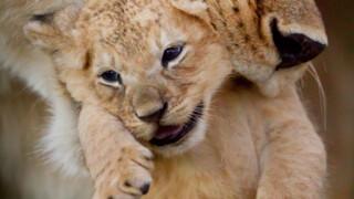 Dynasties - Leeuw
