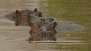 Het Klokhuis - Nijlpaard
