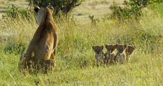Serengeti leeuwenwelpjes