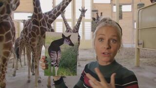 Het Klokhuis - Okapi