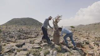 Oases In De Oriënt - Socotra, Jemen
