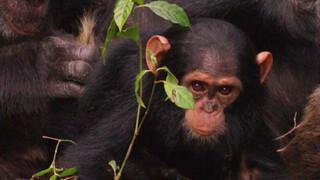 Freek in het wild Slimme chimpansees