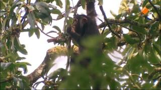 Freek In Het Wild - Chimpansees Volgen