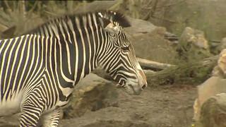 Waarom heeft een zebra strepen?
