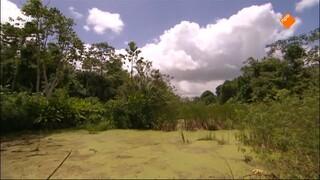 Anaconda Mimosaplant