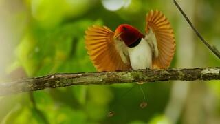 Natuur Op 2 - Paradijsvogels
