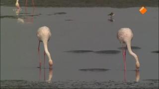 Flamingo's en pelsrobben