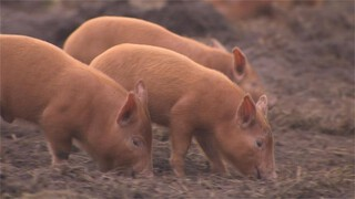 Werkende varkens