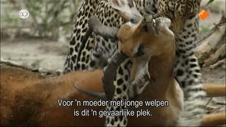 Hoe een luipaard leert vissen