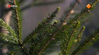 Groen Licht: Duurzame kerstboom gezocht