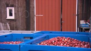 Cranberry boerderij